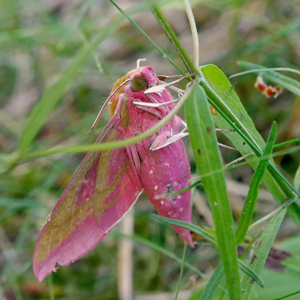 Винный бражник – «розовая колибри» умеренных широт