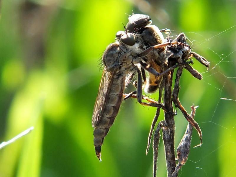 Причины появления больших мух в доме. большие мухи мира.