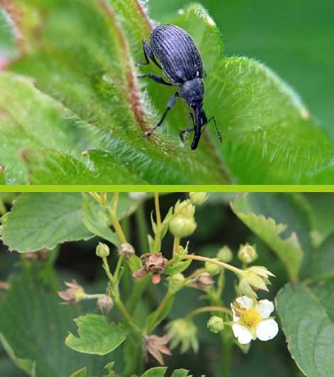 Борьба с долгоносиком во время цветения. почему появляется долгоносик на клубнике и борьба с ним