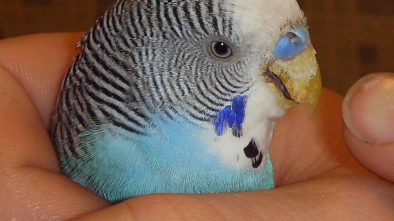 Паразиты у волнистых попугаев: симптомы, лечение и профилактика