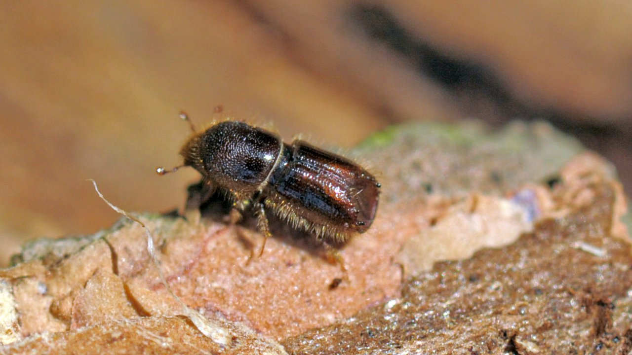 Как выглядит жук-короед | виды жуков-короедов