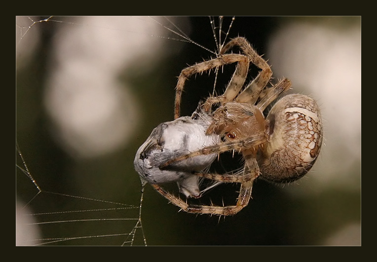 Пауки-скакуны (паук-скакунчик) – фото и описание
