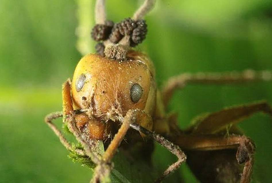 Как грибы-паразиты превращают муравьев в зомби? — странная планета