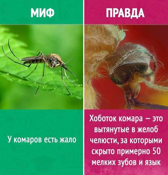 Сколько самка комара откладывает яиц. как размножаются комары: жизненный цикл, особенности спаривания