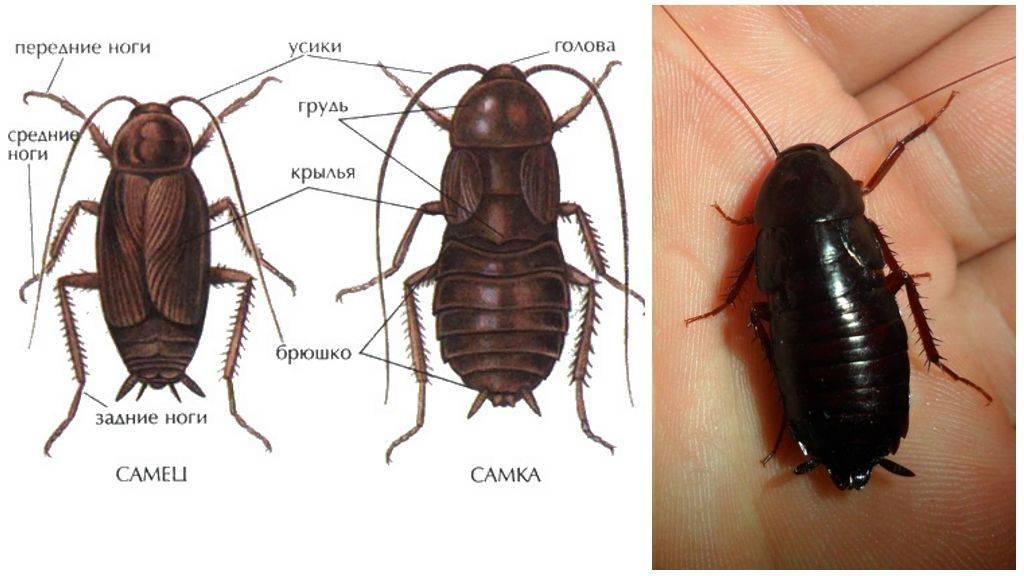 Черный таракан и его внешнее описание: строение тела, пищеварительная и нервная системы