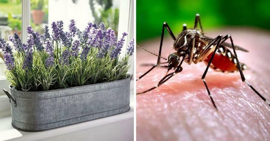 Какие растения лучше отпугивают комаров с участка