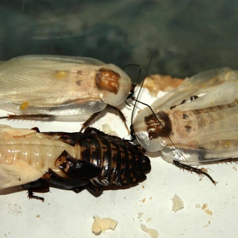 Таракан альбинос: откуда белые тараканы в квартире