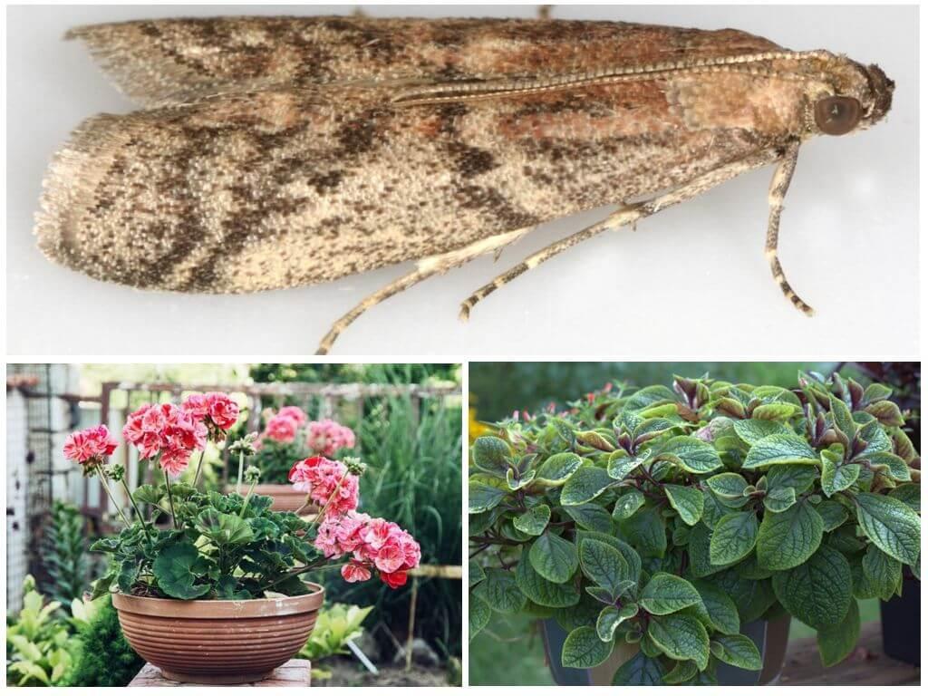 Какое растение отпугивает своим запахом моль?