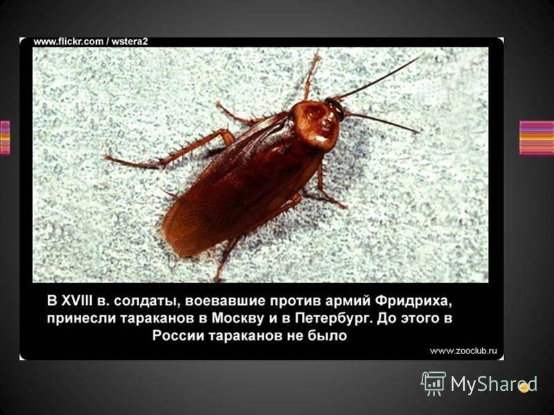 Виды тараканов: домашние и дикие, маленькие и огромные, фото и описание русский фермер