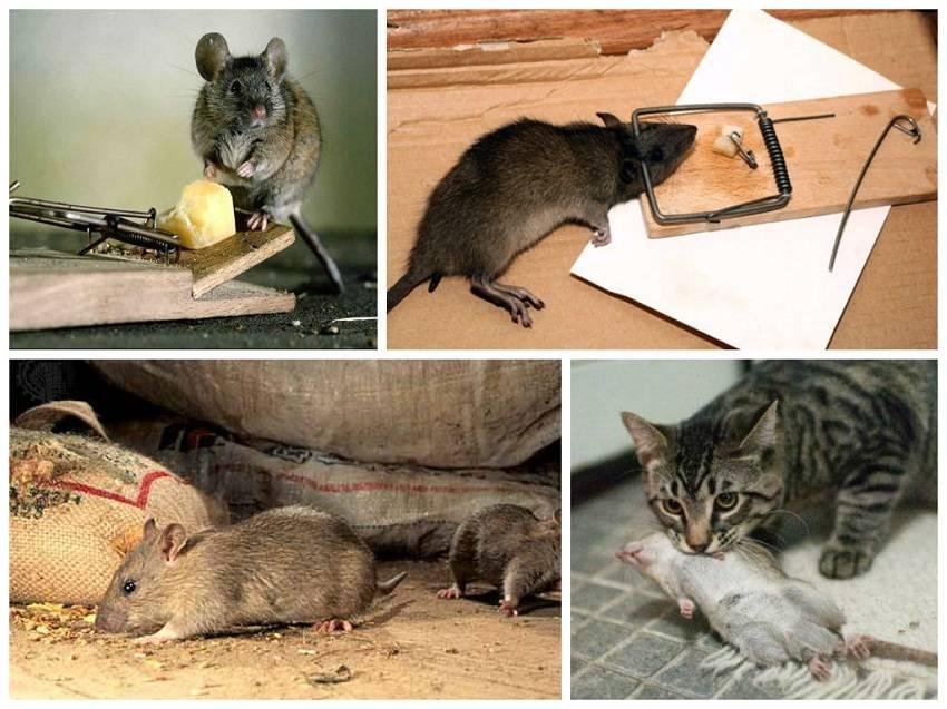 Как избавиться от мышей в квартире навсегда: народные средства и современные методы борьбы с квартирными мышами