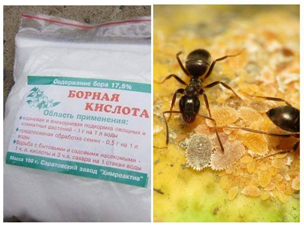 Как избавиться от муравьев на огороде