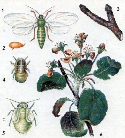 Как спасти яблони и груши от вредителя медяницы