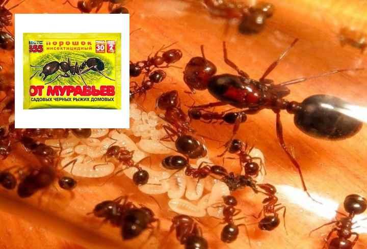 Мелкие муравьи на кухне - как избавиться и как предотвратить повторное появление