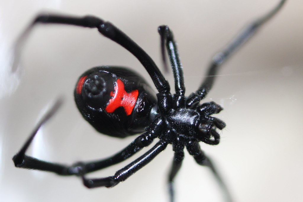 Описание паука черная вдова: фото, место обитания, размеры, питание
