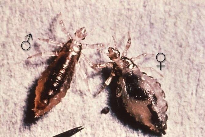Лосиные паразиты или вши опасность для крупных животных