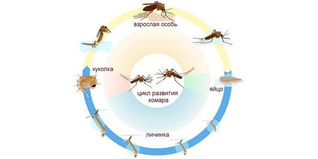 Как комары откладывают яйца. как размножаются и сколько живут комары. сколько живет комар обыкновенный