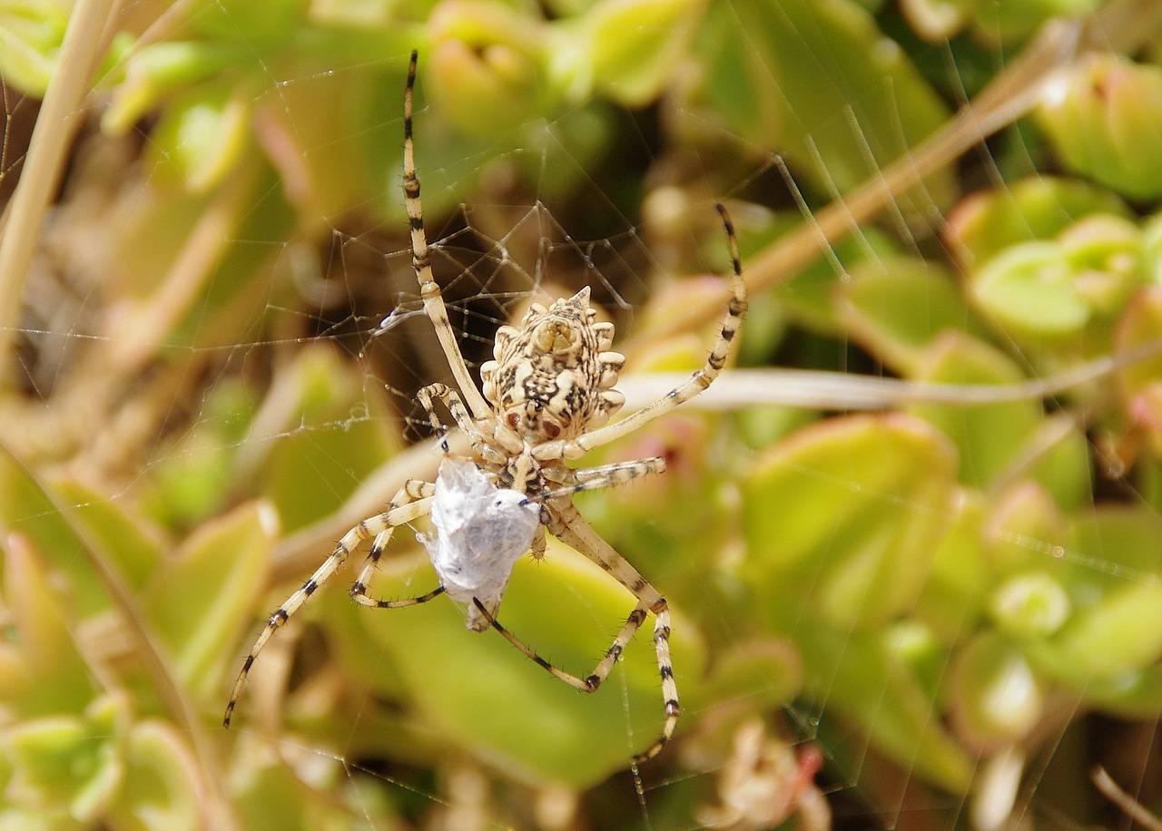 Класс паукообразные. отряды: пауки, скорпионы и клещи. строение и размножение паука-крестовика