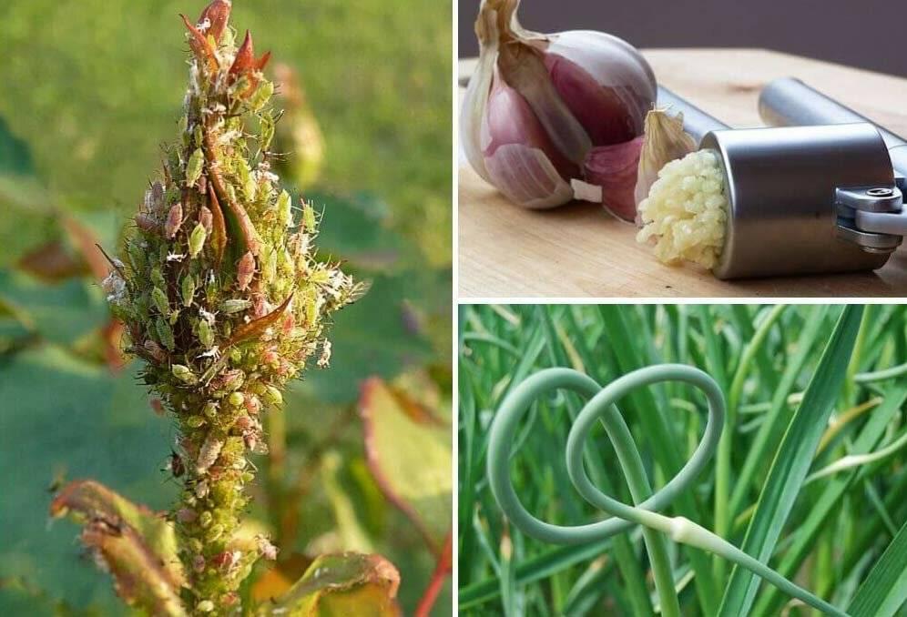 Как и чем бороться с тлёй в огороде: способы как избавиться навсегда народными средствами и инсектицидами