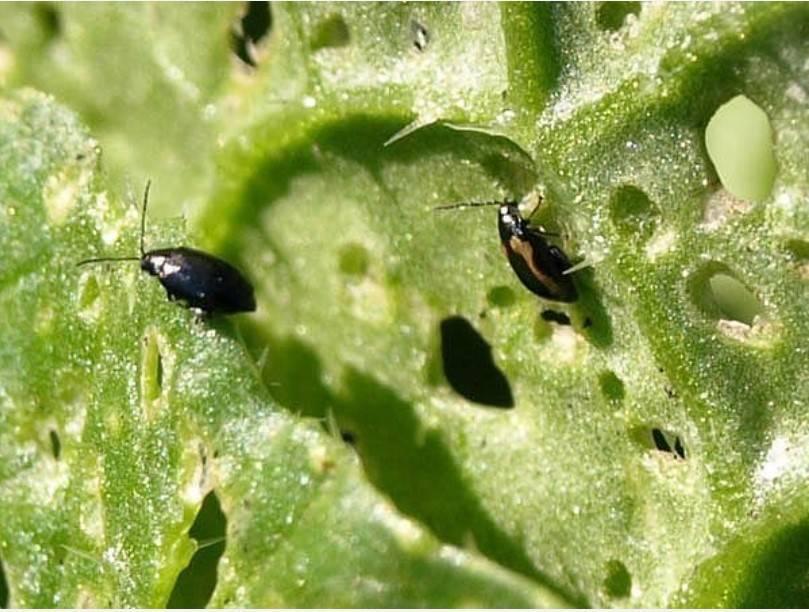 Как избавиться от мошки на капусте эффективные средства - сад и огород