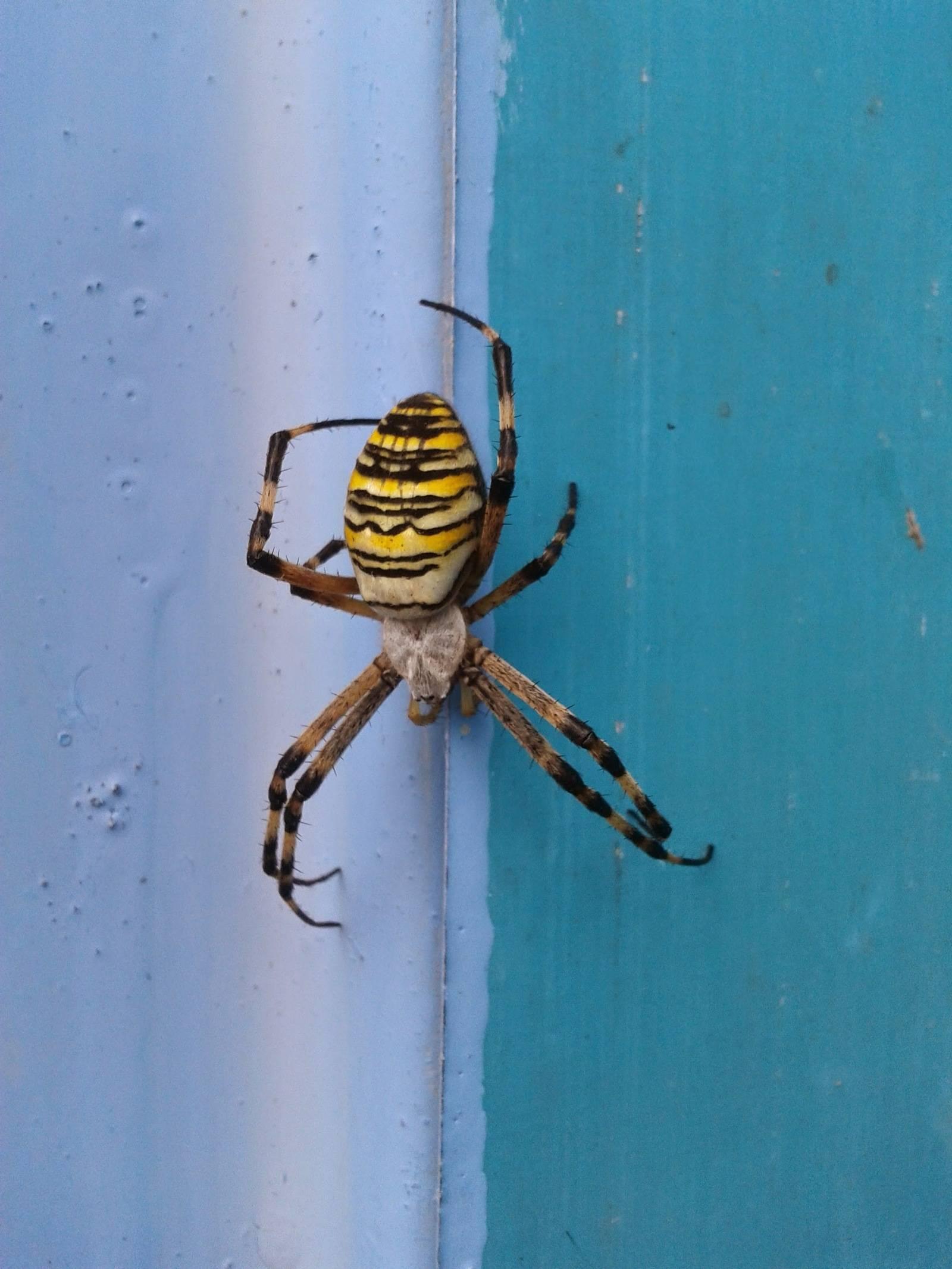 Симпатичный и коварный. паук с желтыми полосками