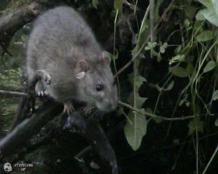 Декоративные домашние крысы – фото, виды, содержание, питание, размножение