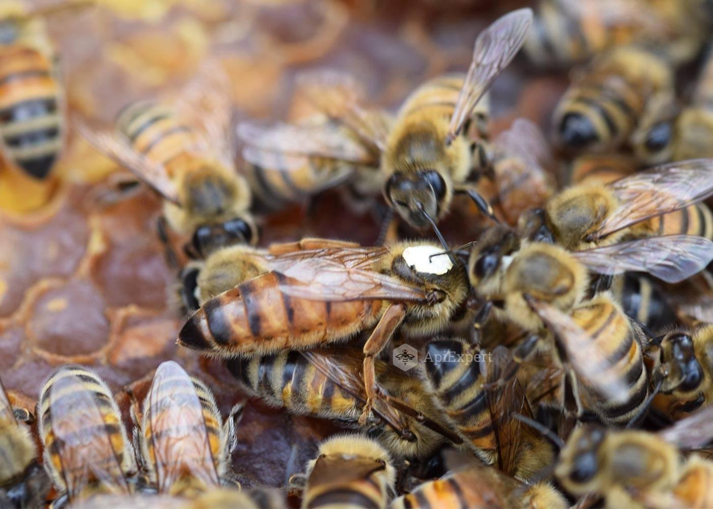 Породы пчел с фото и описанием: их характеристики и советы по выбору