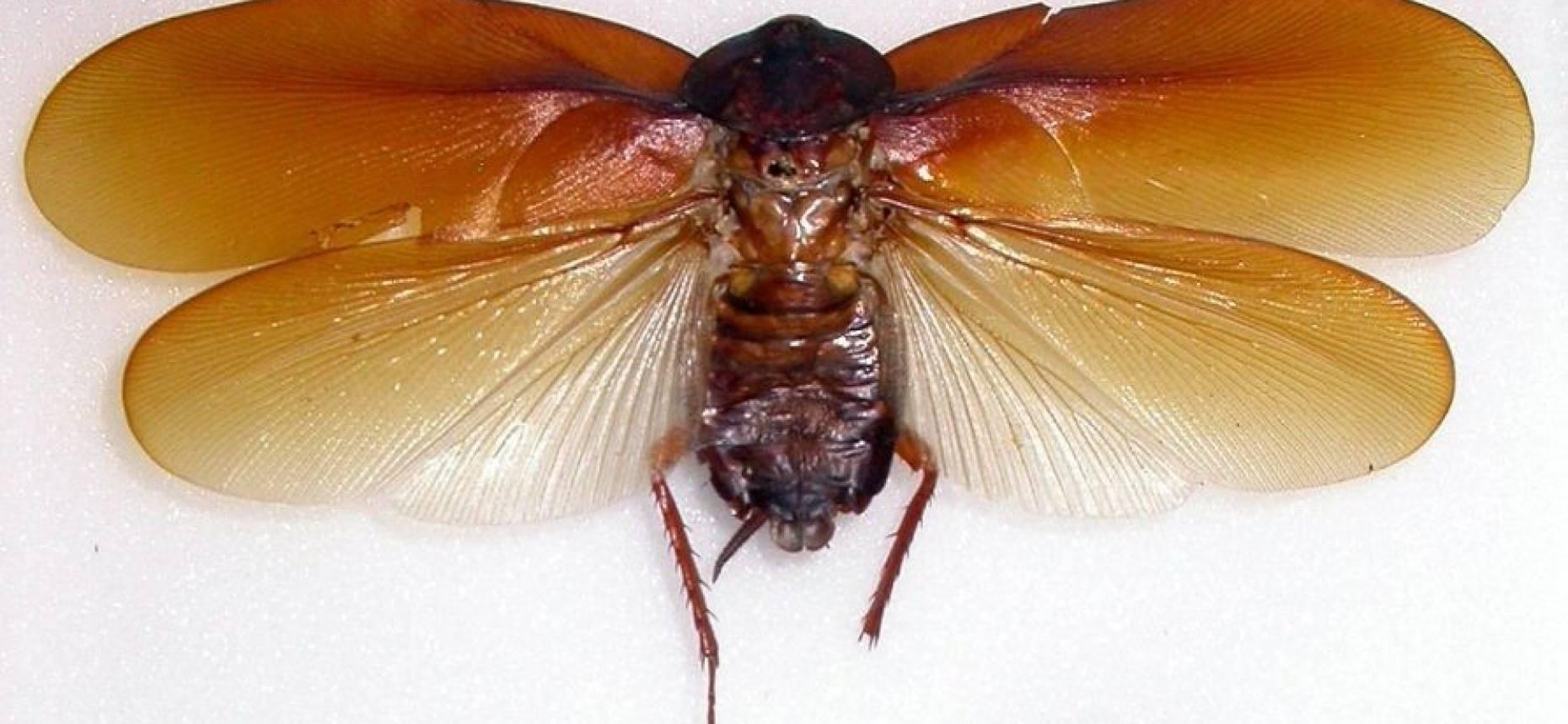 Летающие тараканы: правда или вымысел