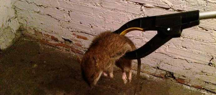 Эффективные методы уничтожения крыс