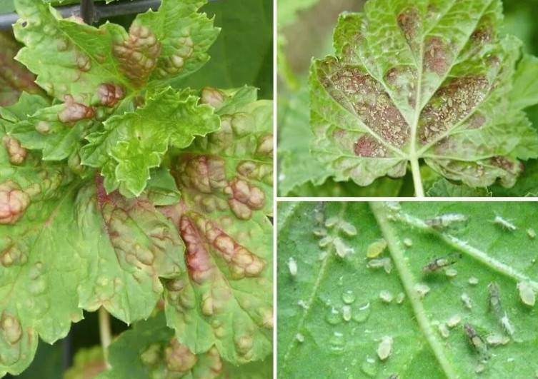 Как избавиться от тли на смородине. методы борьбы с тлей на смородине. комплексный подход в борьбе с тлей позволит получить долгосрочный эффект и хороший урожай.