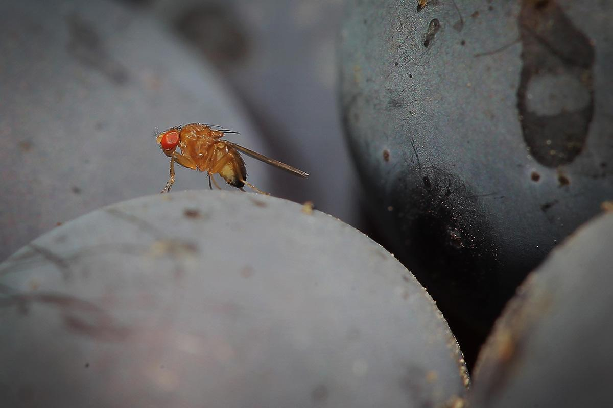 Как избавиться от мух дрозофил в квартире: делаем ловушки для дрозофил