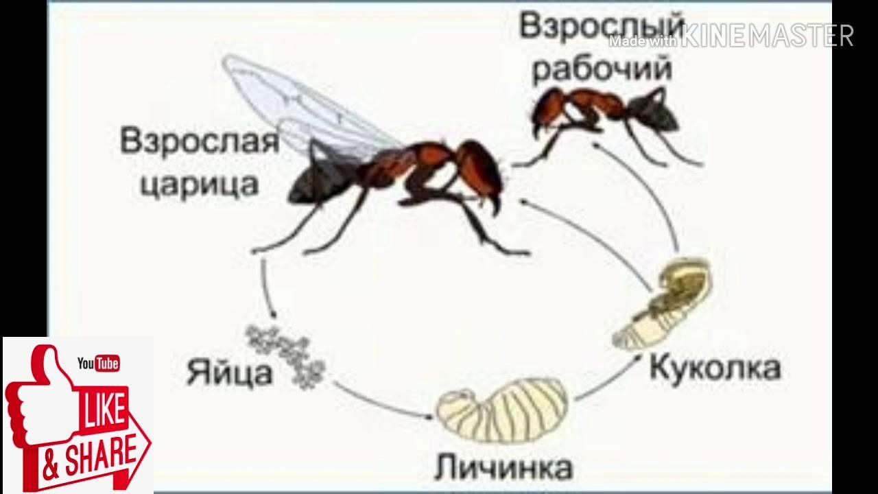 Яйца и личинки мух – фото и описание