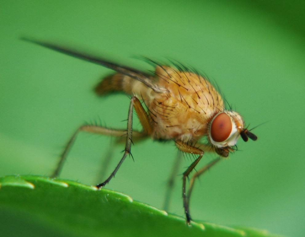 Малиновая муха - борьба с ней sokol-clean.ru