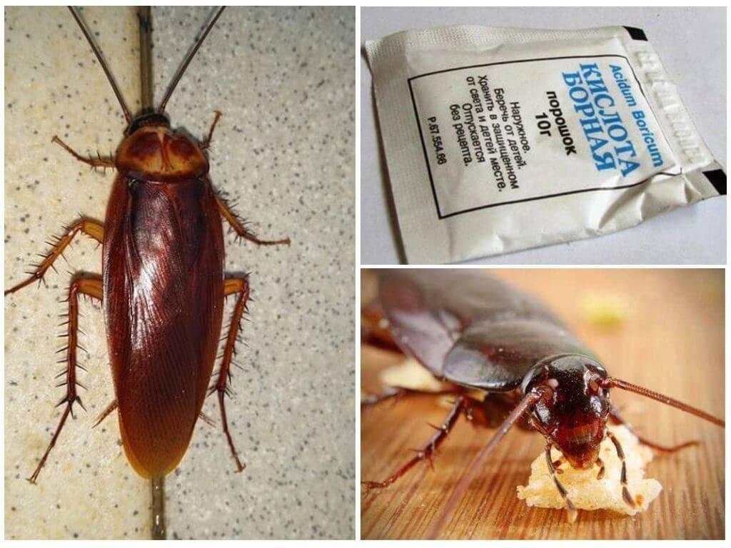 Летают ли тараканы и какие виды