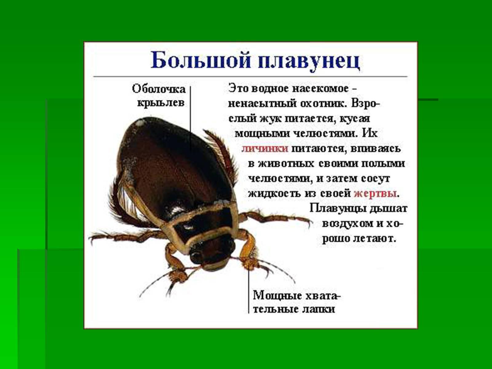 Плавунец жук