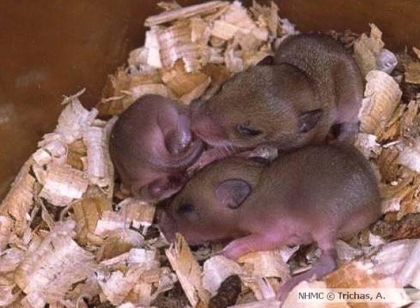 Размножение мышей в домашних условиях   zoodom