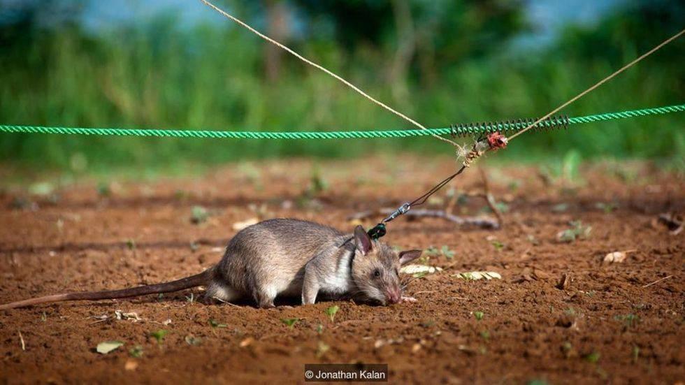 Гамбийская крыса: полное описание и содержание в домашних условиях