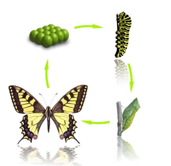 Как гусеница превращается в бабочку: все стадии появления бабочки