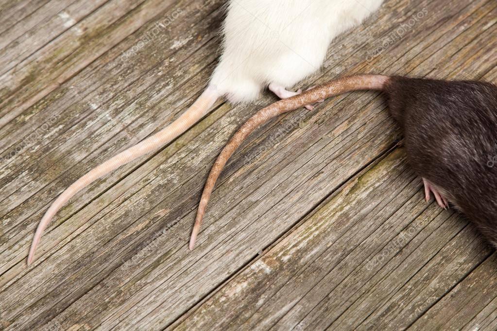 Зачем крысам длинный лысый хвост - kotiko.ru