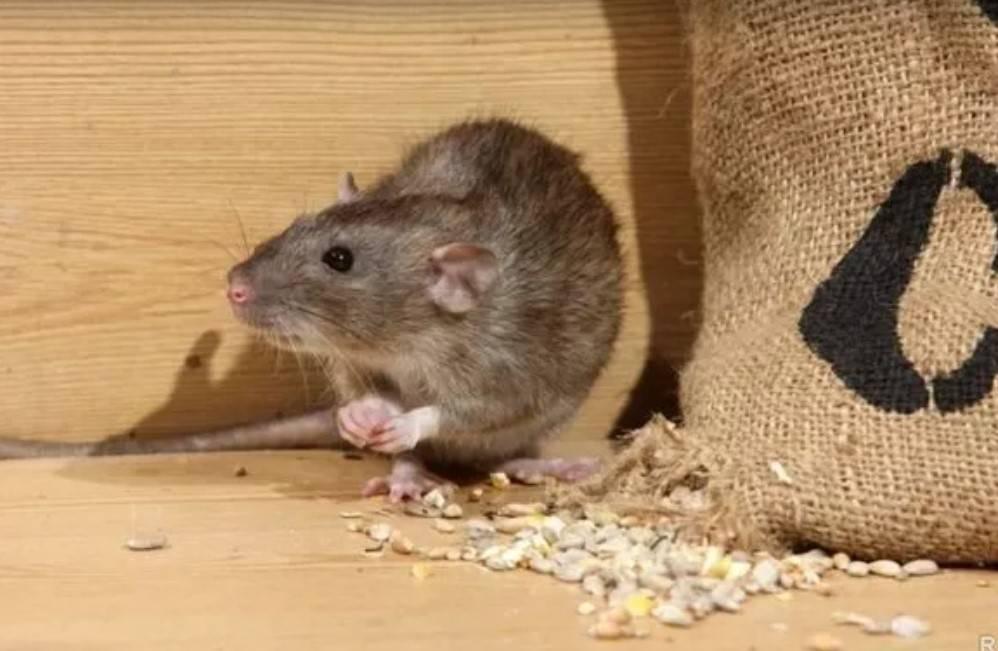 Чего боятся крысы и как от них избавиться