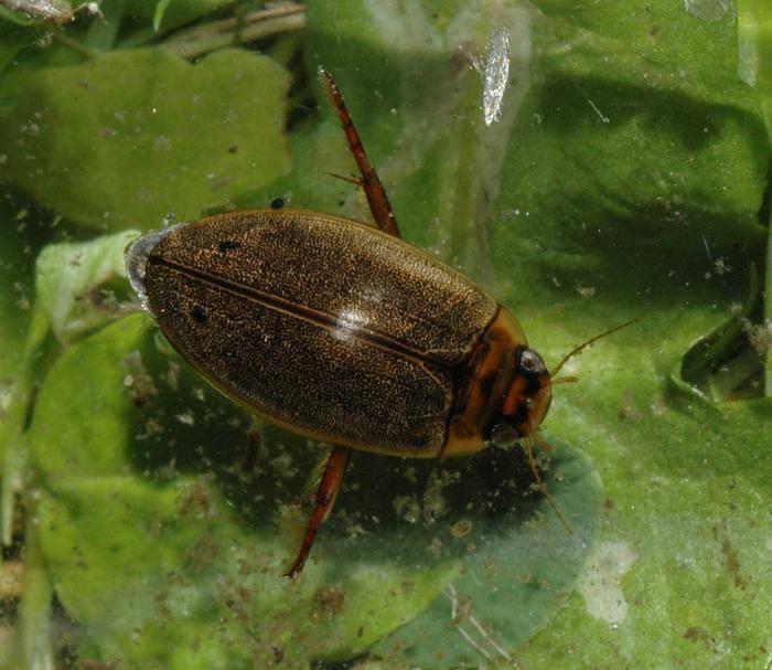 Плавунец жук насекомое. описание, особенности, виды, образ жизни и среда обитания плавунца