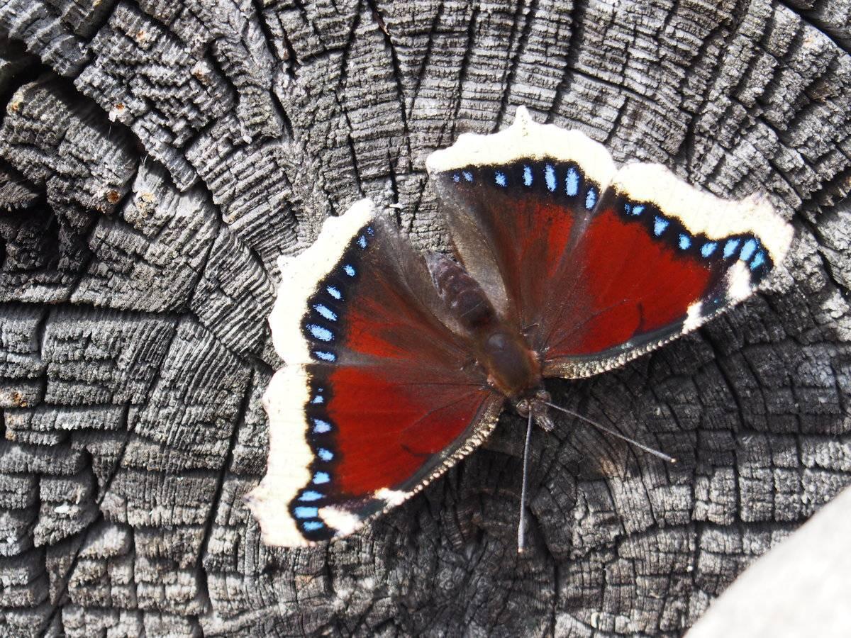 Бабочка тополевый ленточник: фото, описание вида и охранный статус насекомого