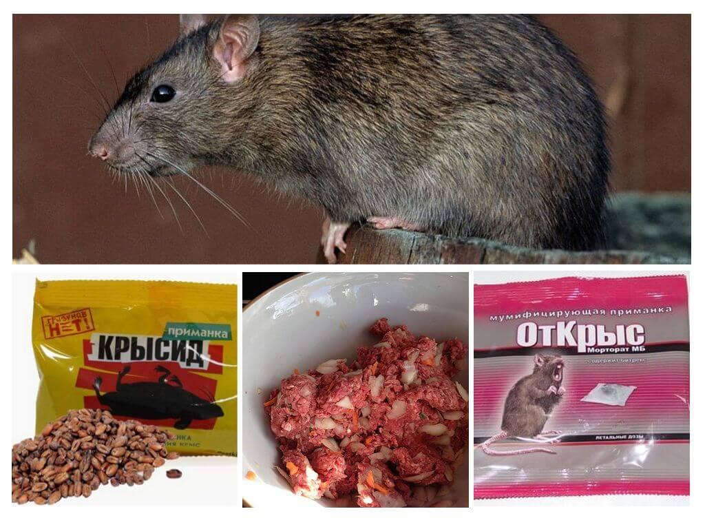 Как избавиться от крыс в сарае: лучшие методы