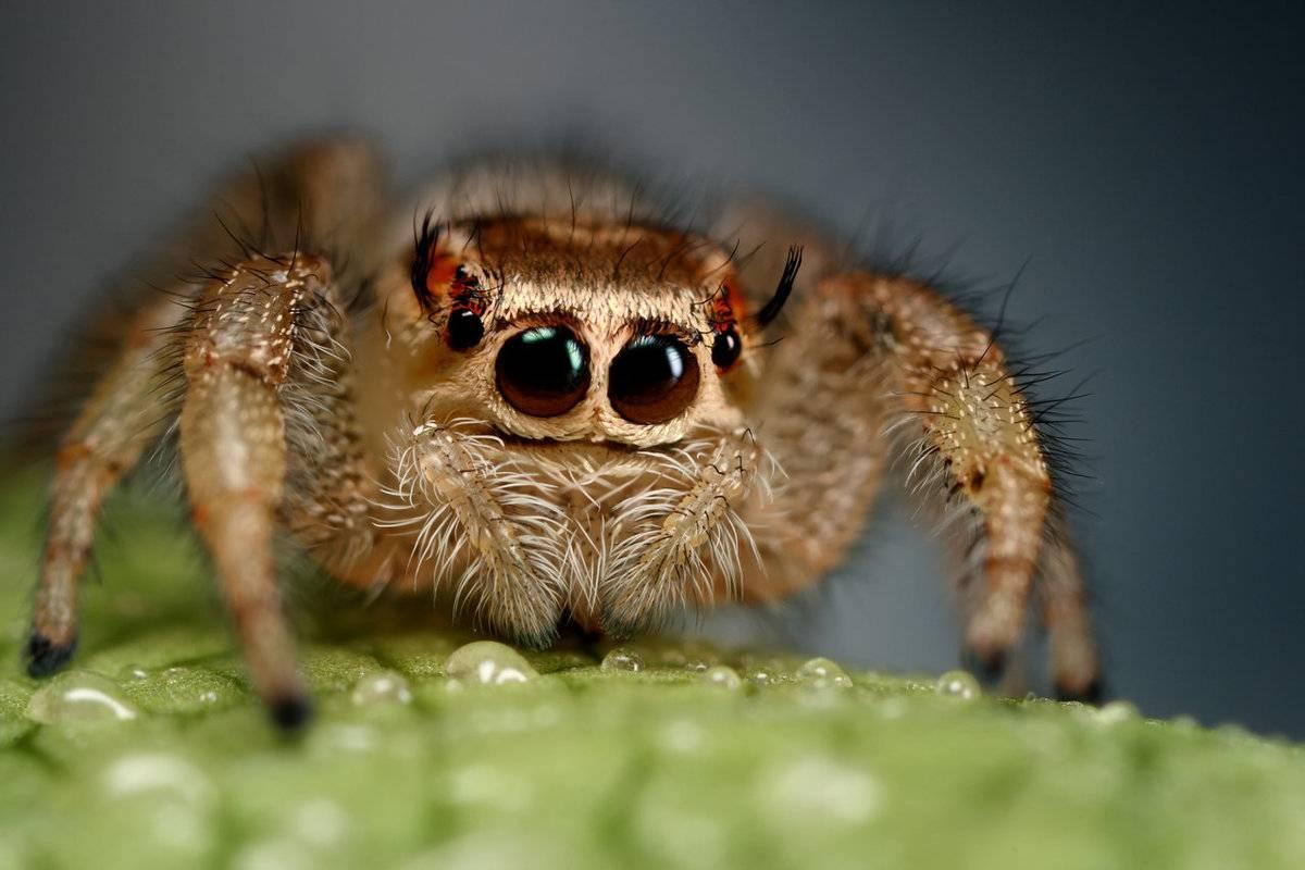 Прыгающий паук фото - наши домашние друзья