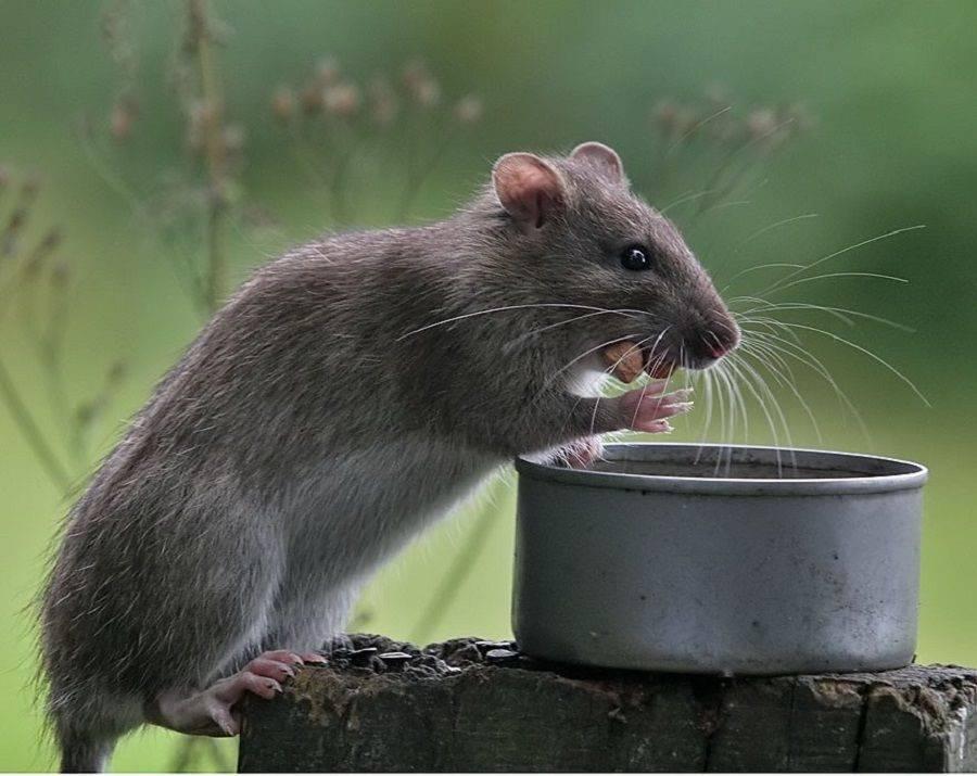 Факты о крысах – что такого необычного в этих грызунах