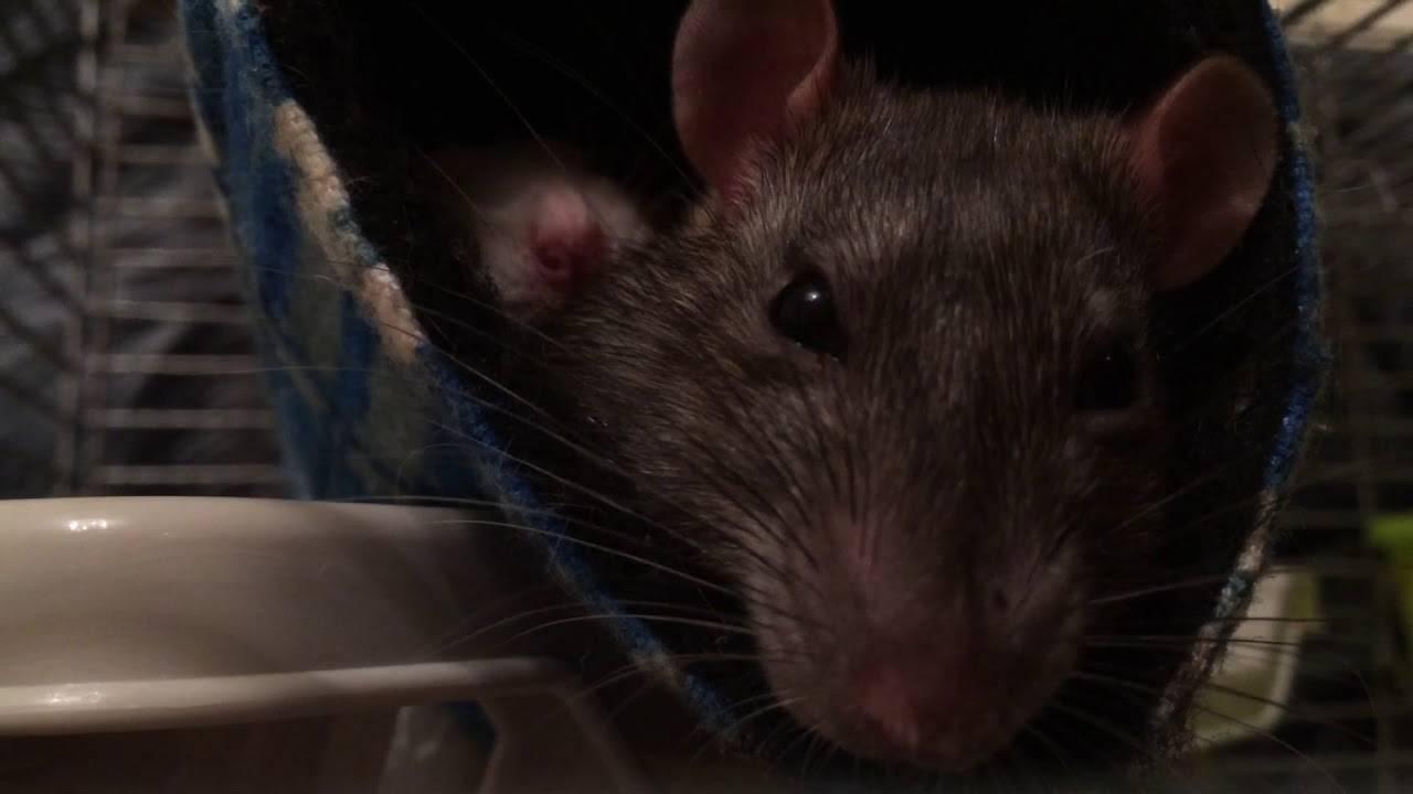 Почему крыса пищит или как разговаривают домашние грызуны