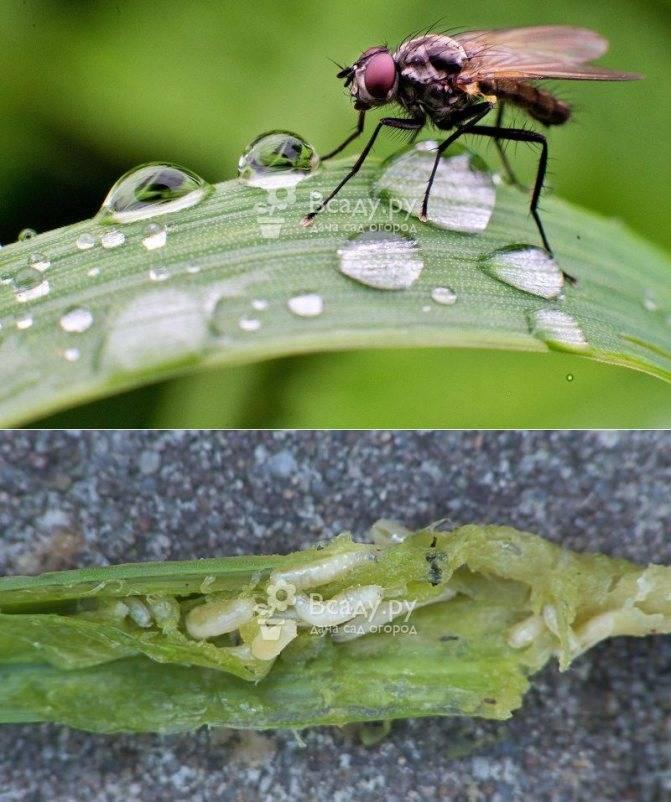 Как бороться с малиновой мухой - сорнякам нет