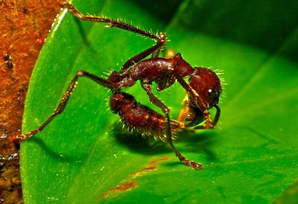 2 самых опасных вида муравьёв: муравьи-пули и муравьи-солдаты