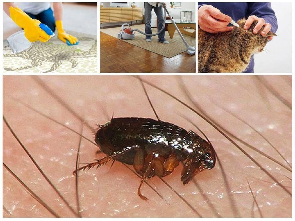 Как кусают блохи и как с ними бороться: лучшие методы и советы. как отличить укусы блох на человеке от укусов других кровососущих насекомых?