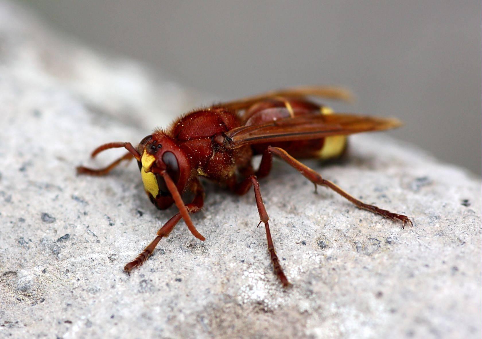 Шершень представитель отряда ос: жизненный цикл, ареал обитания, пища и экологическое значение насекомого