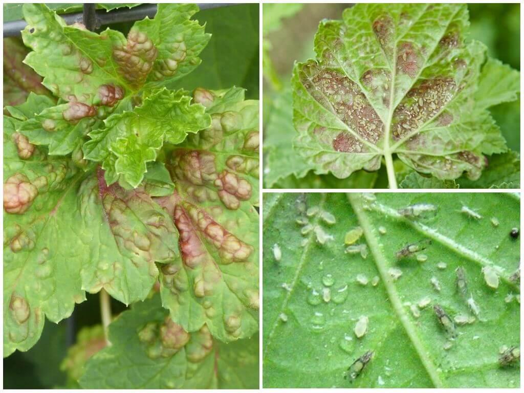 Тля на смородине: как бороться с галловым паразитом, какое насекомое спасает, чем обработать кусты с красной и иной ягодой, а также препараты и меры профилактикидача эксперт